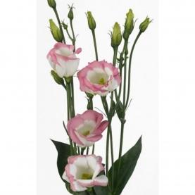 Эустома Бело-Розовая фото