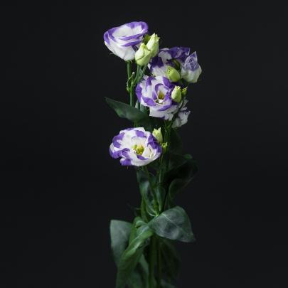 Эустома Excalibur Blue Picote фото
