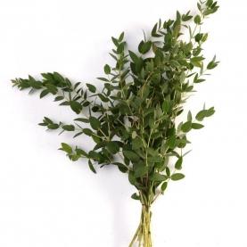 Эвкалипт Parvifolia фото