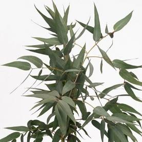 Эвкалипт Pauciflora фото