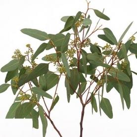 Эвкалипт Populifolia фото
