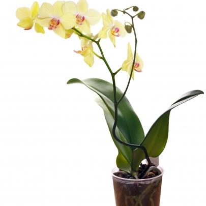 Орхидея Фаленопсис микс 1 ствол фото