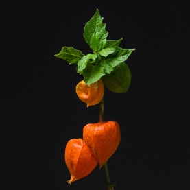 Физалис Оранжевый фото