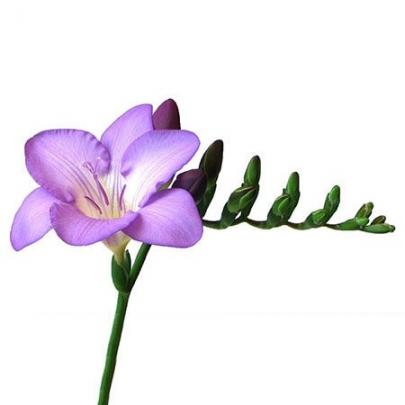 Фрезия Фиолетовая фото