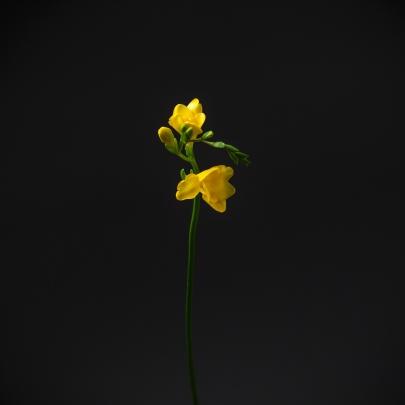 Фрезия желтая поштучно фото