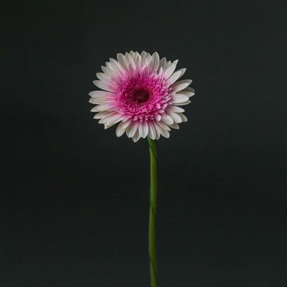 Гербера Бело-Розовая Пушистая фото
