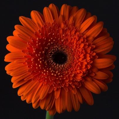 Гербера Оранжевая Пушистая фото