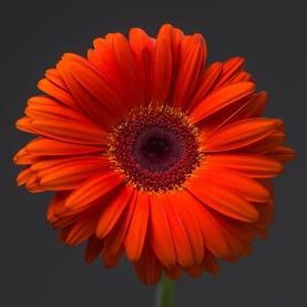 Гербера оранжевая фото