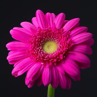 Гербера Розовая фото