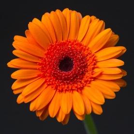 Гербера Светло-Оранжевая фото
