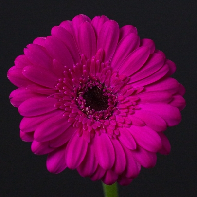 Гербера Темно-Розовая фото