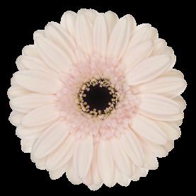 Гермини Macaron фото