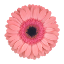 Гермини Нежно-Розовая