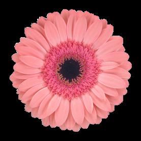 Гермини Нежно-Розовая фото