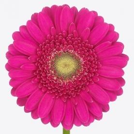 Гермини Розовая фото