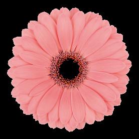 Гербера Нежно-Розовая фото