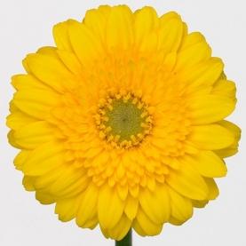 Гермини Желтая фото