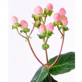 Гиперикум Розовый фото