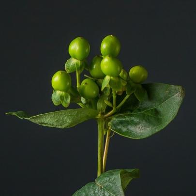 Гиперикум Зеленый фото