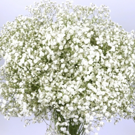 Гипсофила Белая фото