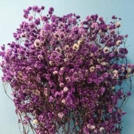 Гипсофила Фиолетовая фото