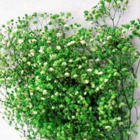 Гипсофила Зеленая фото
