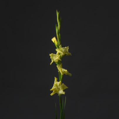Гладиолус Лимонный фото