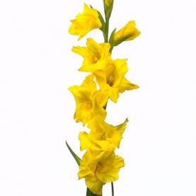 Гладиолус Желтый фото