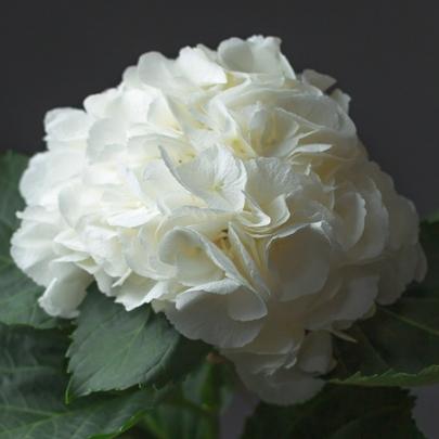 Гортензия белая поштучно фото
