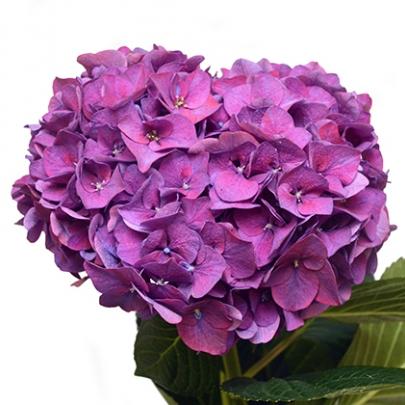 Гортензия Фиолетовая фото