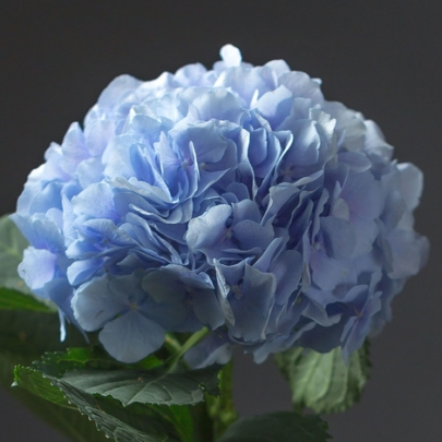 Гортензия голубая фото