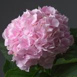 Гортензия (Sweet Verena)