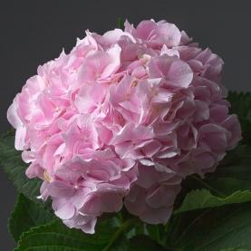 Гортензия Нежно-Розовая фото