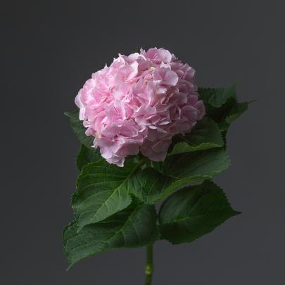 Гортензия бледно розовая поштучно фото