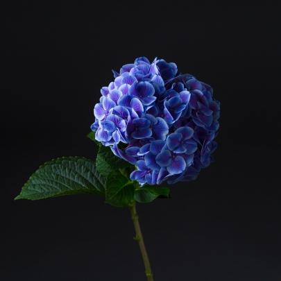 Гортензия Синяя фото