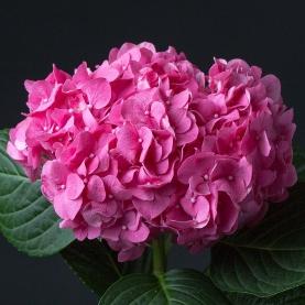 Гортензия Розовая фото