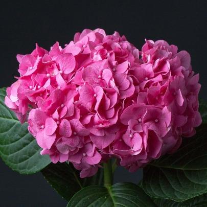 Гортензия Ярко Розовая фото