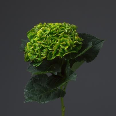 Гортензия зеленая поштучно фото