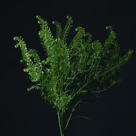 Лепидиум Green Bell фото