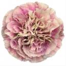 Гвоздика Розово-Кремовая