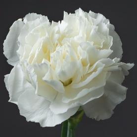 Гвоздика белая поштучно фото