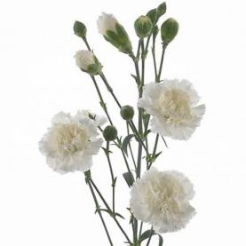 Гвоздика Белая Кустовая поштучно фото