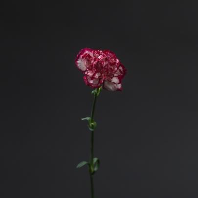 Гвоздика Бело-Бордовая фото