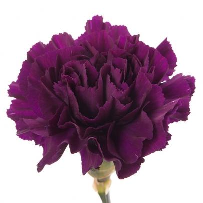 Гвоздика фиолетовая поштучно фото