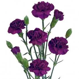 Гвоздика Фиолетовая Кустовая фото