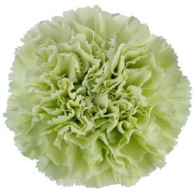Гвоздика Зеленая фото