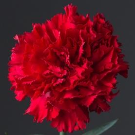 Гвоздика красная поштучно фото