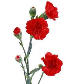 Гвоздика Красная Кустовая поштучно фото
