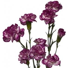 Гвоздика Кустовая Бело-Фиолетовая фото