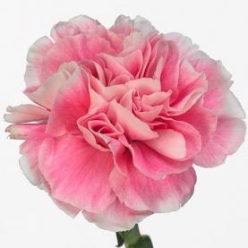 Гвоздика Розово-Белая фото